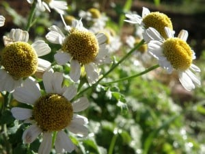 Feverfew Patch