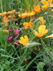Poppies, Calendula, Penstemon