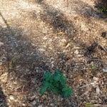 fall potato sprouts