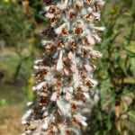 Lambs ear with seeds