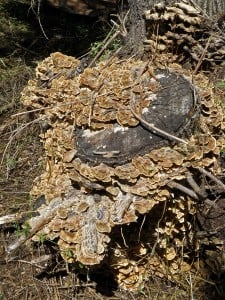Turkey Tail stump