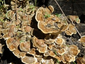 Turkey Tail cluster