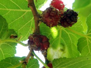 Ripening mulberries